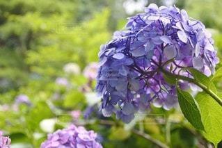 花,紫,景色,紫陽花,ガーデン