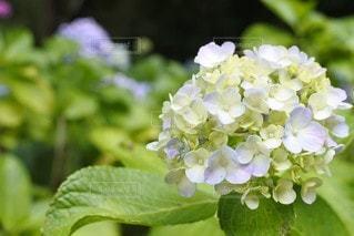 花,緑,紫陽花,ガーデン