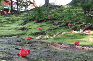 風景,花,春,京都,景色,椿,3月,城南宮