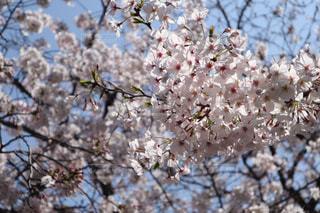 空,春,桜,ピンク,4月,阪神尼崎