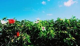 自然,風景,空,花,夏,屋外,緑,赤,白,晴天,青,ハイビスカス,沖縄,旅行,グリーン,カラー,リフレッシュ,草木,日中,夏日,refresh