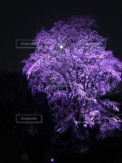花,桜,夜空,紫,月,ライトアップ