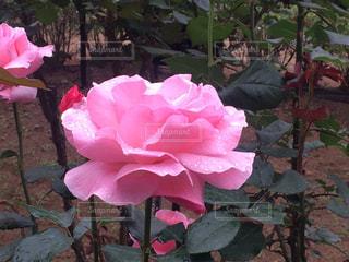 花,屋外,ピンク,バラ,花びら