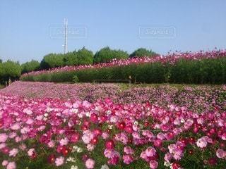 風景,花,ピンク,景色,鮮やか,可愛い,福岡,ガーデン