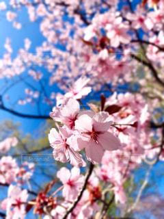 空,花,春,ピンク,青空,満開,樹木,快晴,桜の花,さくら,ブルーム,ブロッサム,春が来た,ハレノヒ