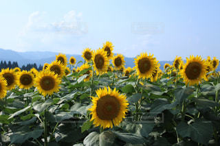 花,ひまわり,黄色,景色,草木