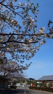 自然,風景,空,花,春,屋外,青い空,樹木