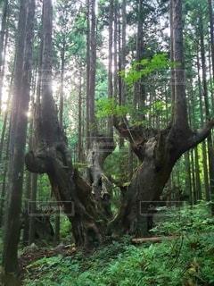 森の中の大きな木の写真・画像素材[3210088]