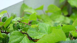 自然,屋外,緑,葉,日本,草木