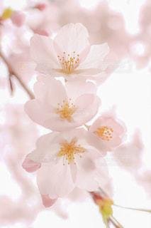 自然,花,春,桜,花びら