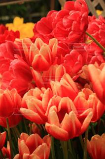 自然,風景,花,チューリップ,鮮やか,フローラ