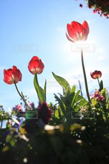 自然,花,春,屋外,太陽,赤,花束,日差し,チューリップ,鮮やか