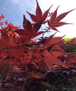 自然,風景,空,紅葉,木,赤,青空,樹木