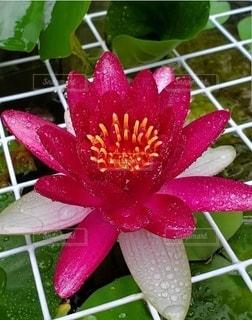 自然,花,蓮,雨上がり