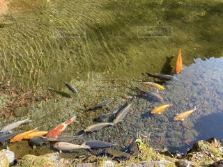 自然,風景,魚,屋外,緑,黄色,水面,水辺,池,鮮やか,錦鯉,錦,鯉
