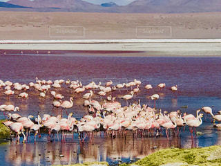 屋外,湖,ピンク,水面,山,群れ,ボリビア,高地,赤い湖,ラグナ・コロラダ,エドゥアルド・アバロア国立自然保護区,ホウ砂