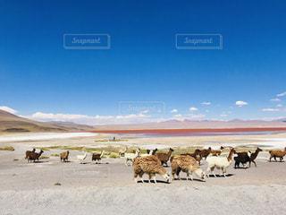 自然,風景,空,動物,屋外,湖,ピンク,山,群れ,ボリビア,高地,リャマ,赤い湖,ラグナ・コロラダ,エドゥアルド・アバロア国立自然保護区