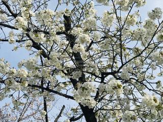 桜の写真・画像素材[3220168]