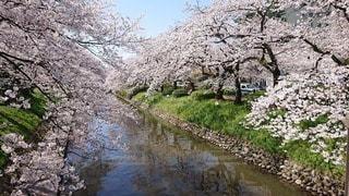 自然,屋外,水面,桜の花