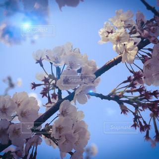 空,花,春,青い空,桜の花,さくら