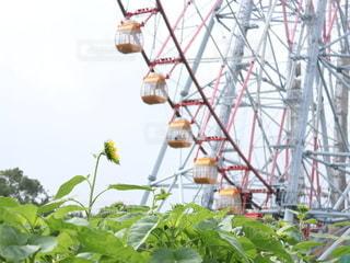 ひまわり畑と観覧車の写真・画像素材[3502977]