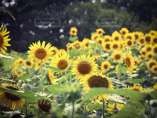 野原に立つひまわりの写真・画像素材[3542600]