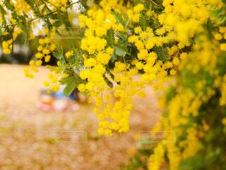 ミモザの木の写真・画像素材[4255046]
