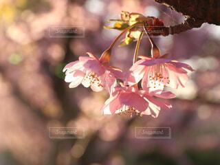 桜の花の写真・画像素材[4271752]
