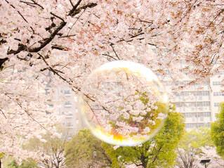 しゃぼん玉と桜の写真・画像素材[4303574]