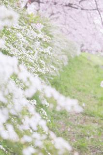 花,春,桜,屋外,flower,一眼レフ,canon,コントラスト,Spring,ファインダー越しの私の世界,カメラ好きと繋がりたい