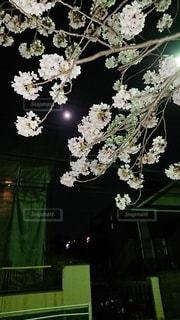 花,花見,夜桜,月