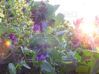自然,花,庭,紫,花びら,夕陽,ガーデン