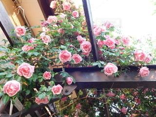 ピンクの薔薇の写真・画像素材[3214933]