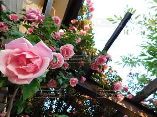 自然,花,庭,バラ,ガーデン