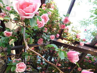 薔薇が満開の写真・画像素材[3214940]