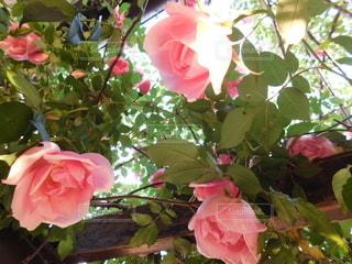 自然,花,庭,ピンク,バラ,ガーデン