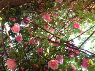 満開の薔薇の写真・画像素材[3214939]