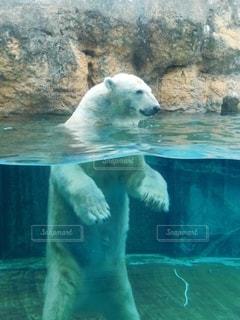 動物,屋外,プール,水面,動物園,ホッキョクグマ,クマ