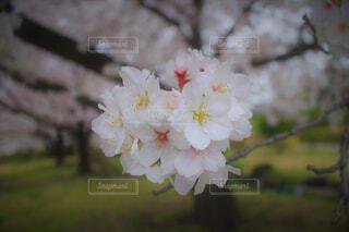 花,春,白,草木,桜の花,さくら,ブルーム,ブロッサム
