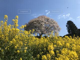 春,桜,青空,菜の花,ドローン,里山