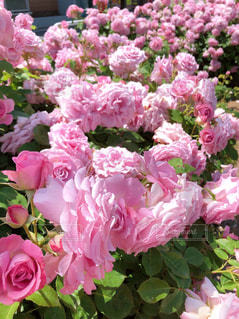 風景,花,ピンク,景色,花びら,鮮やか,草木