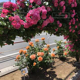 花,屋外,バラ,草木,ガーデン