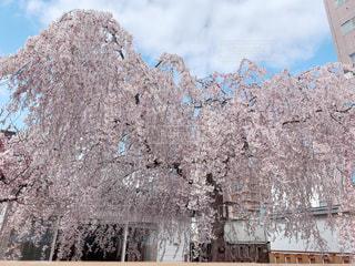 空,花,春,屋外,ピンク,きれい,綺麗,青空,日常,樹木,日本,朝,昼,和,快晴,儚い,素敵,桜の花,さくら,キレイ,cherryblossom,ブロッサム