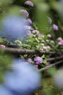 紫陽花の写真・画像素材[3218523]