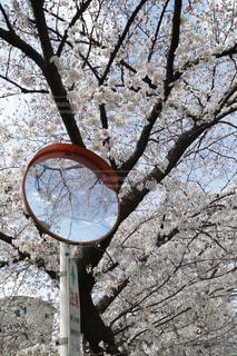 自然,花,春,屋外,樹木,さくら,ブロッサム
