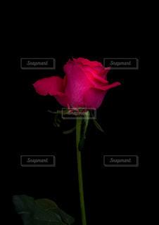 花,赤,綺麗,バラ,暗い,花びら,薔薇,合成,美味しい,豪華,草木,エレガント,Photoshop,フローラ,単一