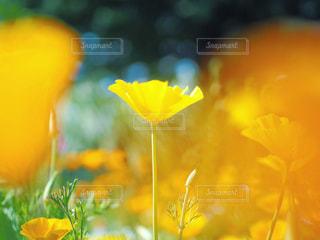 花,春,黄色,可愛い,ポピー,草木