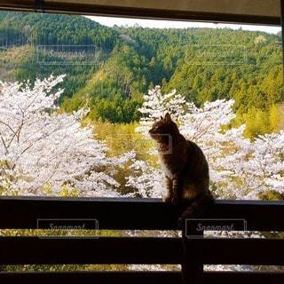 猫,春,桜,お花見,新緑,額縁,見つめる