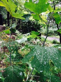 秋,森林,雨,屋外,森,葉っぱ,散歩,葉,雨上がり,早朝,草木,早起き,おしゃれ,あまつゆ