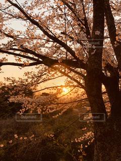 自然,風景,公園,春,桜,森林,哀愁,夕焼け,散歩,夕方,樹木,ハイキング,夕桜